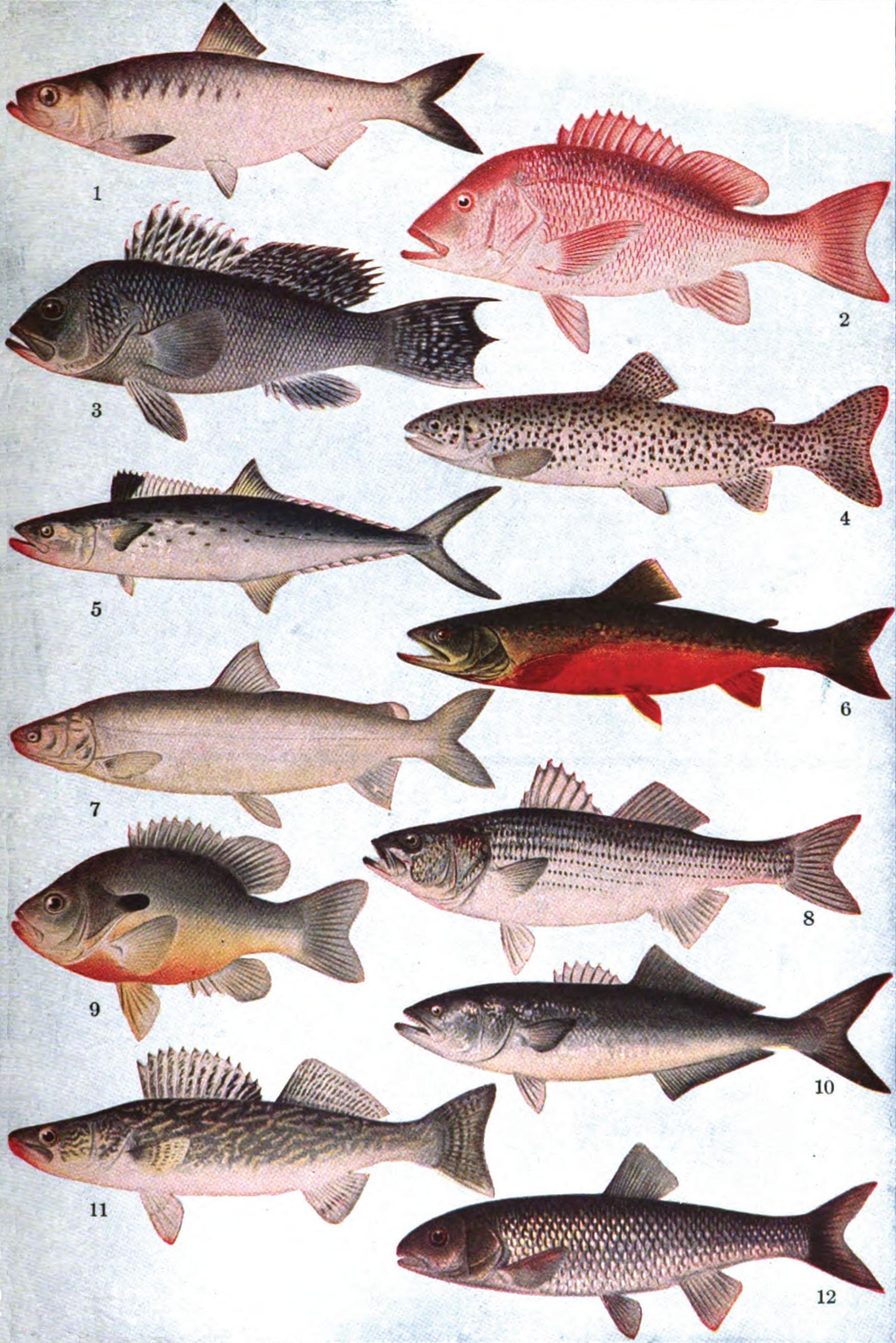 Conhecido Diferenças entre peixes de água doce e peixes de água salgada  BM66